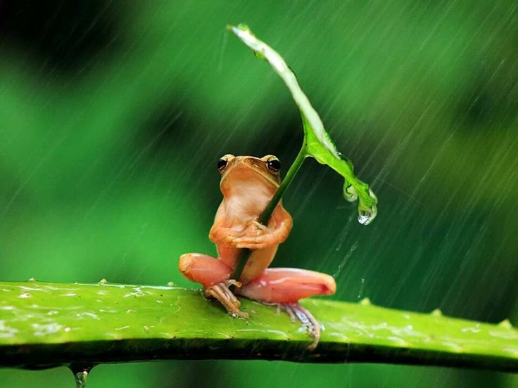 Frog actually readjusted the leaf to shield the rain!