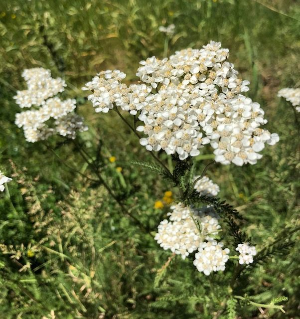 Medicinal Yarrow Salve Yarrow Yarrow Flower Medicinal Plants