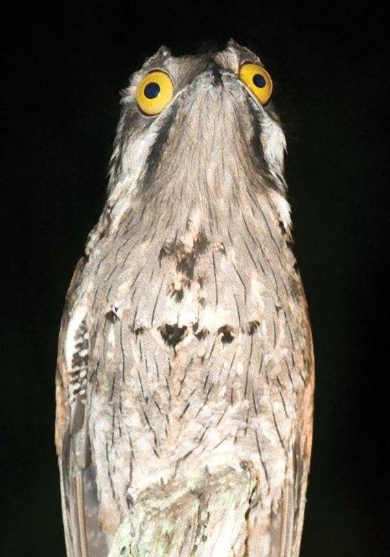 タチヨタカ 七色の顔を持つ猛禽