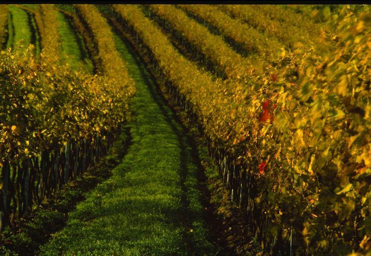 Die wunderschönen Weinberge in der Region rund um das Reduce Gesundheitsresort Bad Tatzmannsdorf  #Badtatzmannsdorf #Burgenland #Region #Weinberge