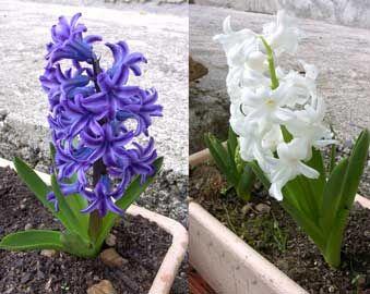 Jacinto (HYACINTHUS) Floración en primavera, plantación en otoño a 10cm; semisol.Cambio de tierra cada 2 años. cortar la flor, dejar que mueran las hojas, sacar el bulbo, limpiarlo y dejar que se seque.Fungicida.Guardar en una caja con arena seca y el ápice arriba en un lugar oscuro.Los bulbos deben ser grandes para florecer. http://fichas.infojardin.com/bulbosas/hyacinthus-jacinto.htm