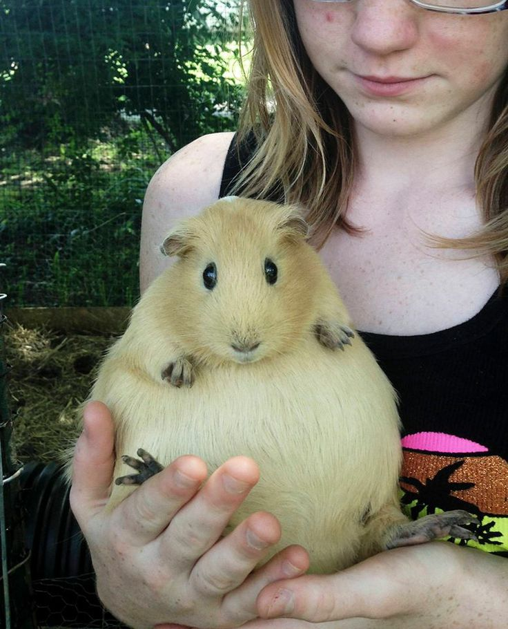 Fatty fat fat pregnant guinea pig!! Aaaaah!!! Squdge the fat piggy!! One of the commenters below originally posted this apparently, and the piggy had five babies! :) Glad it all worked out!
