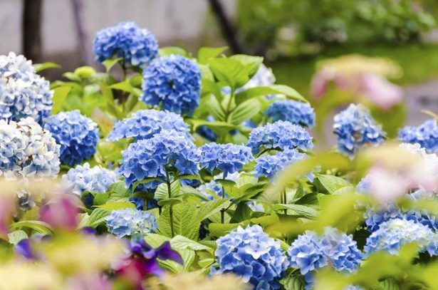 How Do I Take Care of an Endless Summer Hydrangea? thumbnail