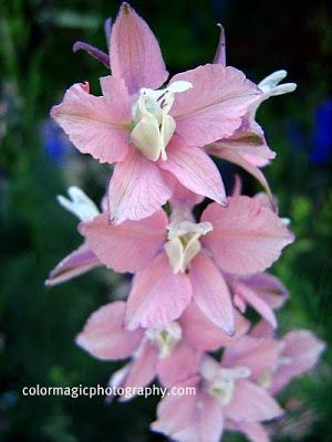Larkspur-Consolida ambigua flowers-