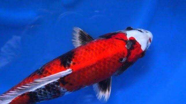 Ikan Koi Showa Yang Bagus Harga Ikan Koi Showa Sanshoku Www Jualikankoi Co Id Download 13 Jenis Ikan Koi Yang Bagus Dan Paling Mahal Ikan Anak Kucing Koi
