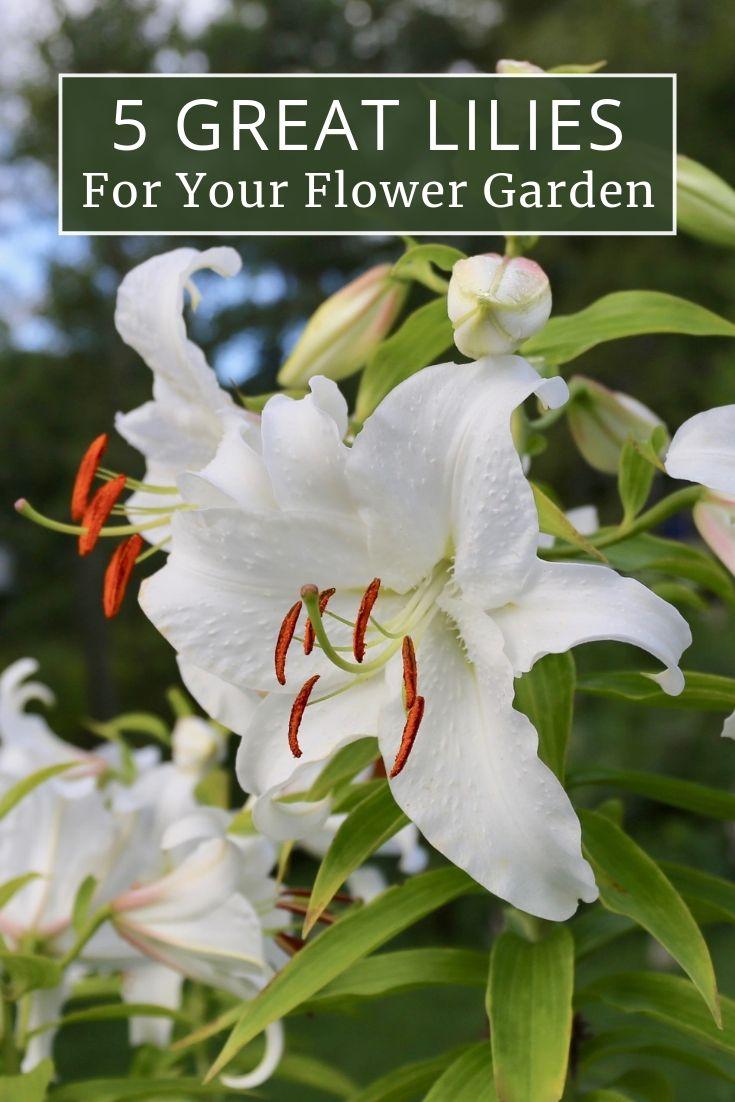 Top Lilies For Your Flower Garden Growing Lilies Flower Garden