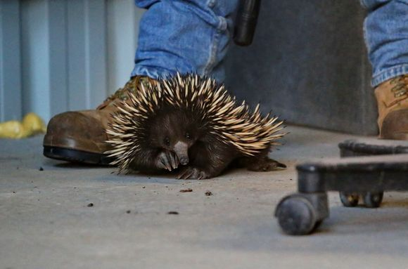 there's an echidna in our shed