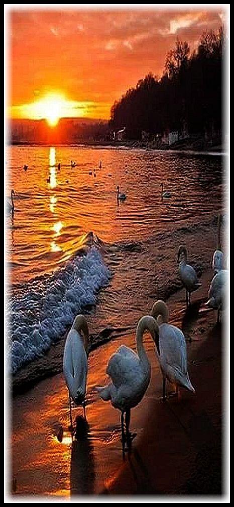 AMAZING SUNSET and Swans #by Judite Fidalgo #swan sun sunrise lake sea water reflection landscape seascape nature amazing