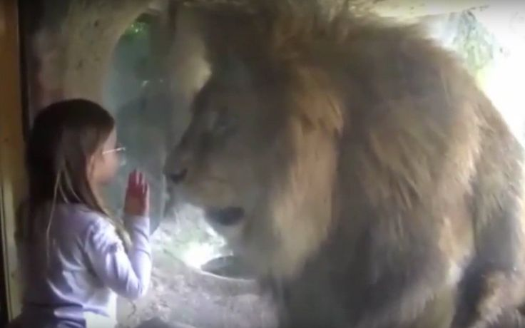 Little girl blows kiss at lion in zoo and the lion understandably has a fit of rage.