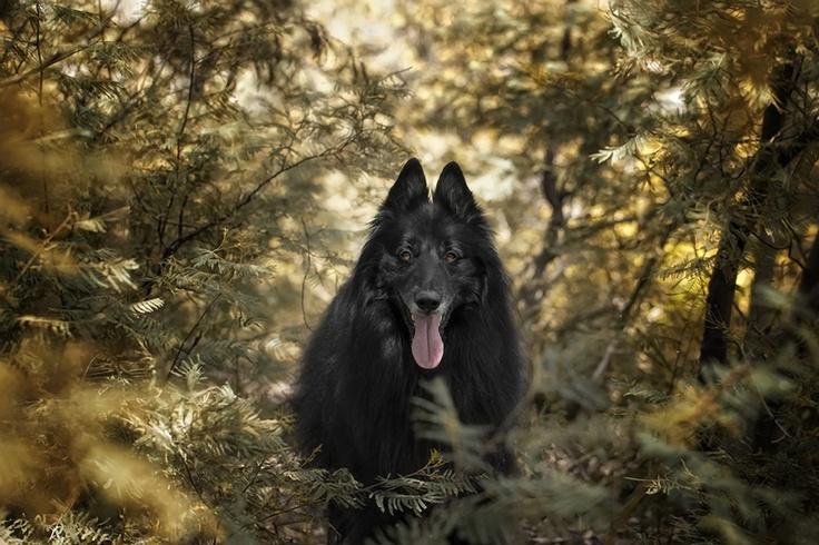 #BelgianShepherd #Groenendael in a forest