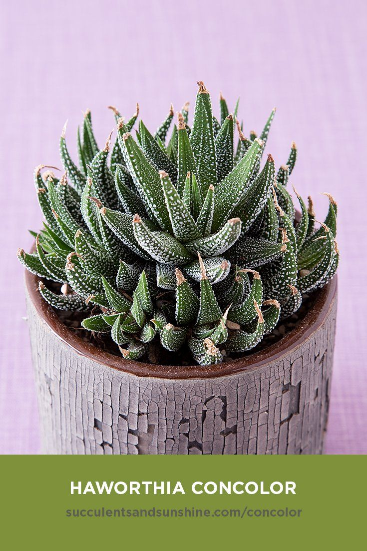 This Slow Growing Succulent Is Ideal For Beginners Growing