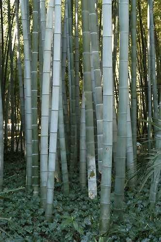 Phyllostachys pubescens giant bamboo Moso graines