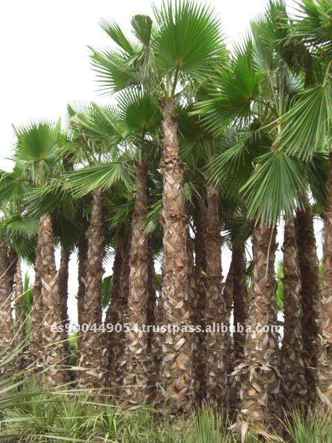 27 best images about washingtonia robusta palm on. Black Bedroom Furniture Sets. Home Design Ideas