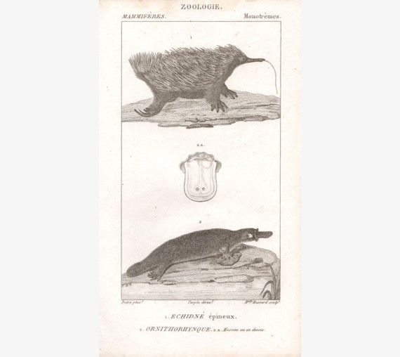 '1 Echidne epineux 2 Ornithorhynque'. From 'Dictionnaire des Sciences Naturelles' , 1816-1830.