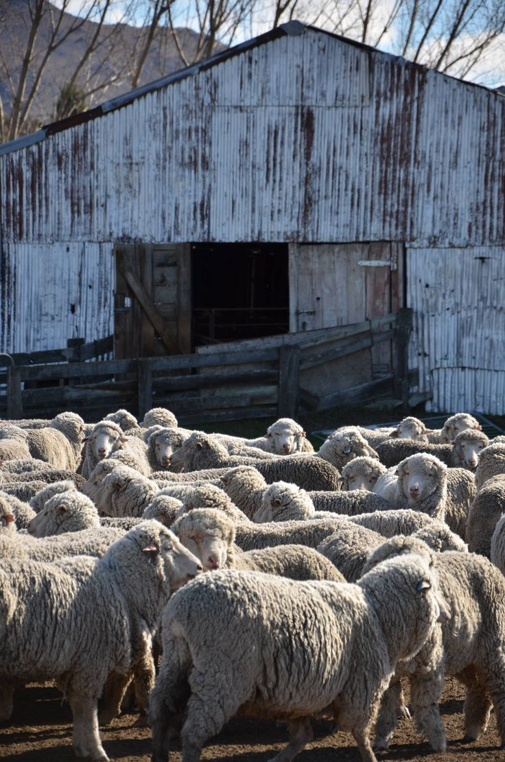 Merino sheep.  These are the fibre factories for Armadillo Merino®. These merino sheep are waiting for their annual clip.