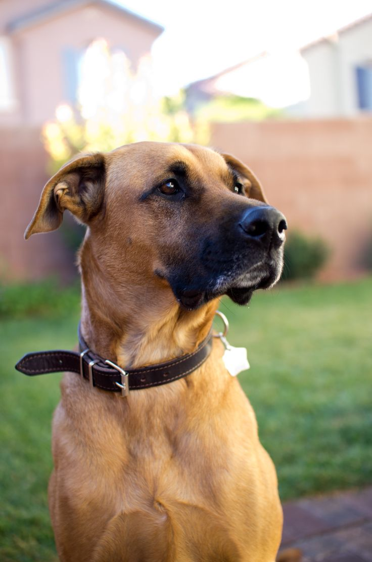 Rhodesian Ridgeback/Great Dane Mix | dog | Pinterest