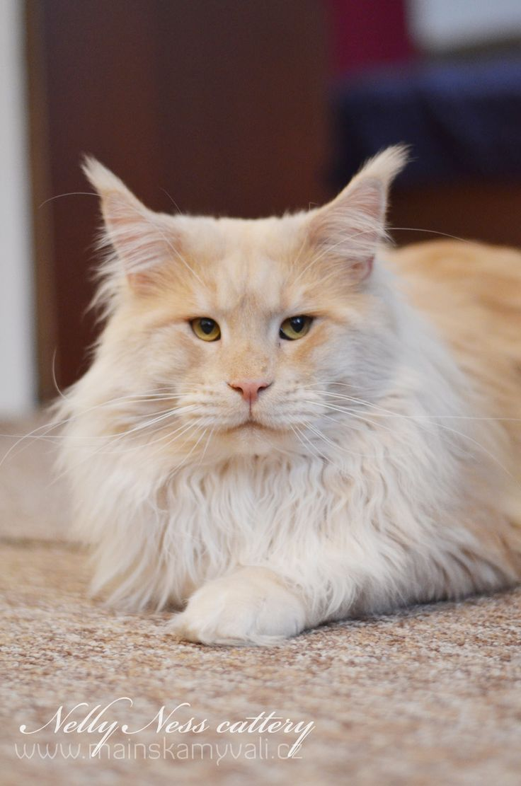 Maine Coon, red solid (ds). Big Giants Resort´s Pablo Picasso