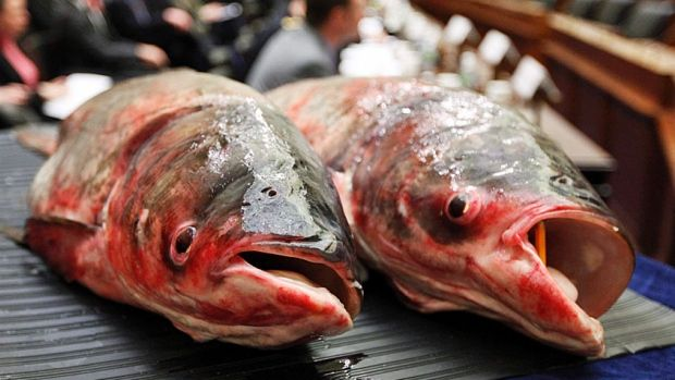 Quebec fishermen catch first Asian carp found in St. Lawrence River - Montreal - CBC News