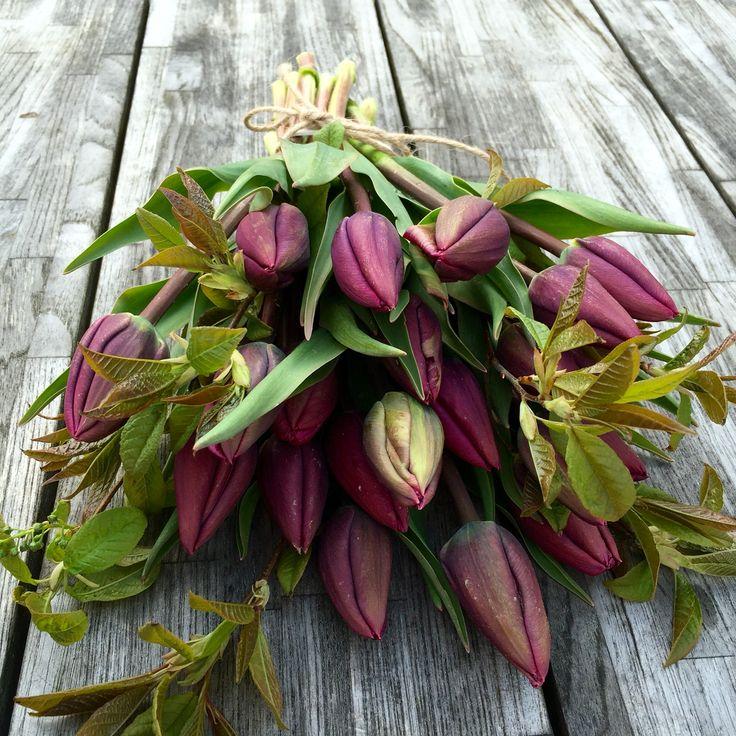 Organic tulips, Negrita, vildevioler.dk