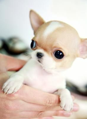 Chihuahua's ❀⊱And Friends with Their Couture⊰❀ Teacup Chi !