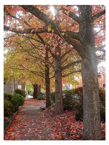 Maple Trees in Stirling ~Adelaide Hills  SA Australia