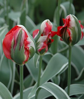 Tulip, Esperanto - Another on my list for this year. Absolutly stunning !Tulip Bulbs at Burpee.com