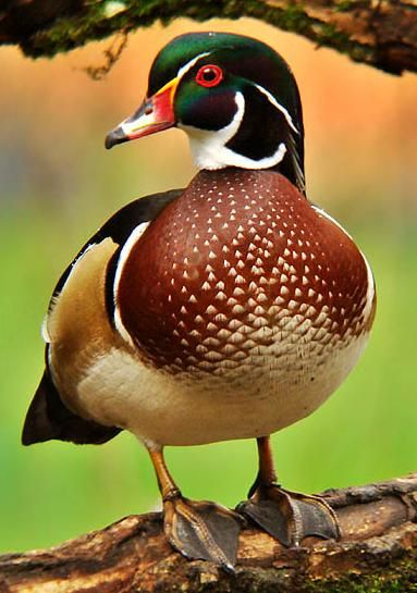 Wood Duck, male (Aix sponsa) from Canada and United States south to Cuba along streams and ponds