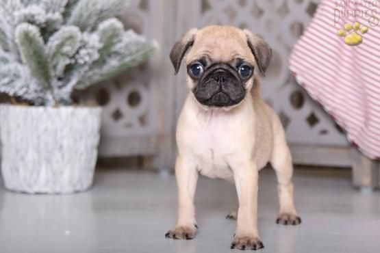 Pin By Tamara Sandusky On Dogs Pug Puppy Pug Puppies Lancaster