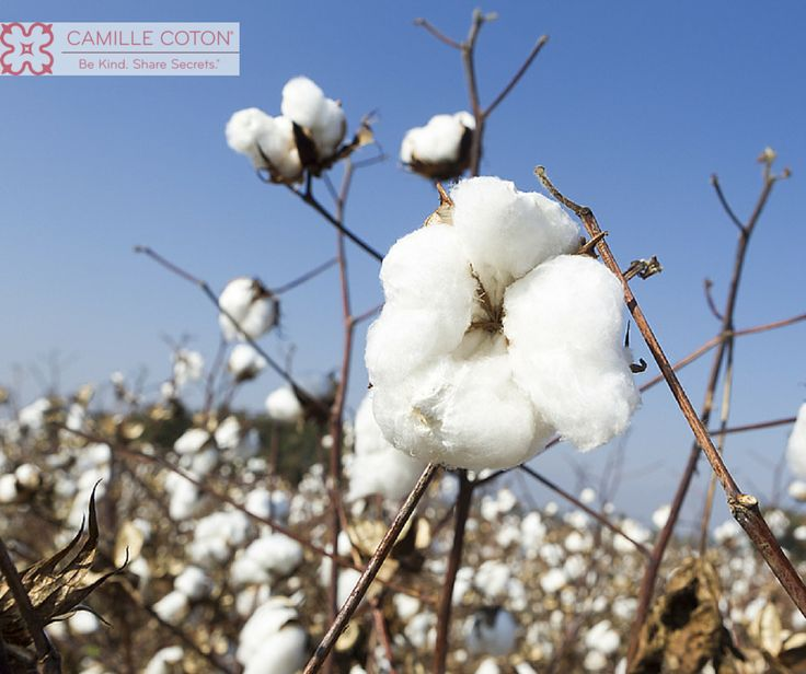 What does cotton have to do with skincare? Find out how Camille Coton is a revolutionary new product that works like microdermabrasion but at 1/3 the cost, and with no harsh abrasives.