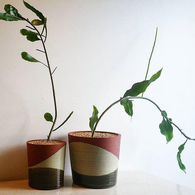 A couple of queens arrived today. #queenofthenight #selenicereusgrandiflorus #orchidcactus #newarrival #grownineastvan #oscarandkennedyceramics #oscarandkennedy #locallymade #ceramic #handmade #madeineastvan #bespokebotanicalbeauty #bloomroomvancouver #bloomroombotanicalgallery #eastvanplantshop #fraserhoodplantshop #mountpleasantplantshop #vancouverplantshop #eastvan #fraserhood #vancouver #vancity #houseplants #indoorplants