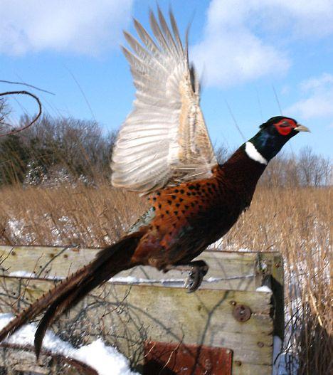 Ring necked pheasant flight