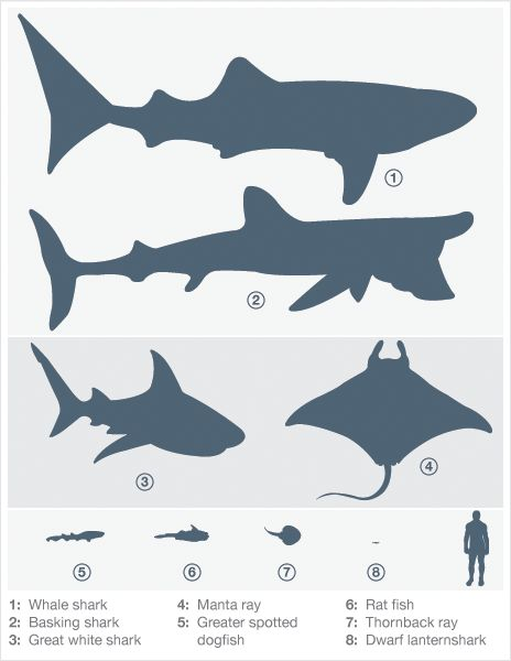 41 best images about shark stuff on pinterest mouths for Angler fish size