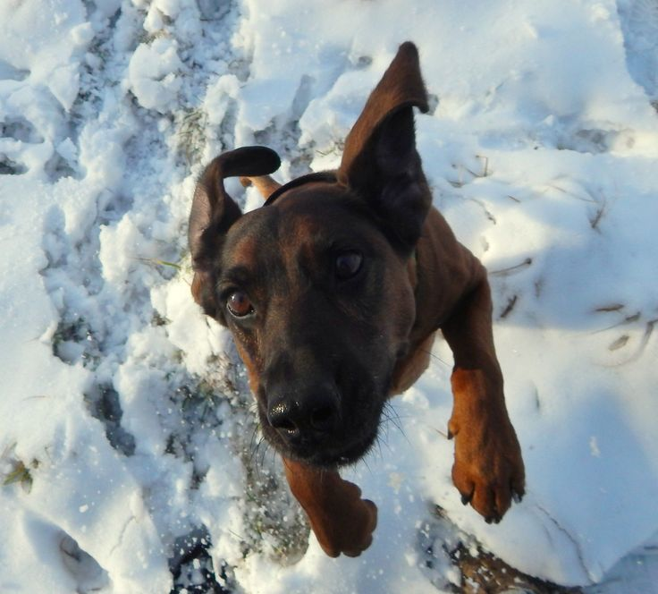 Bavarian Mountain Hound Fela
