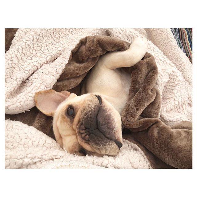ぬくぬくしてる❤️ 見つめられてきゅーーん . . .  #今日のだいず #thefrenchiepost#frenchie #frenchies #frenchiemania #dogsofinstagram#BUHI#instafrenchie#frenchielove#dogs#instadog#フレンチブルドッグ#フレブル#犬との暮らし#愛犬#2歳#ブヒスタグラム#犬バカ部