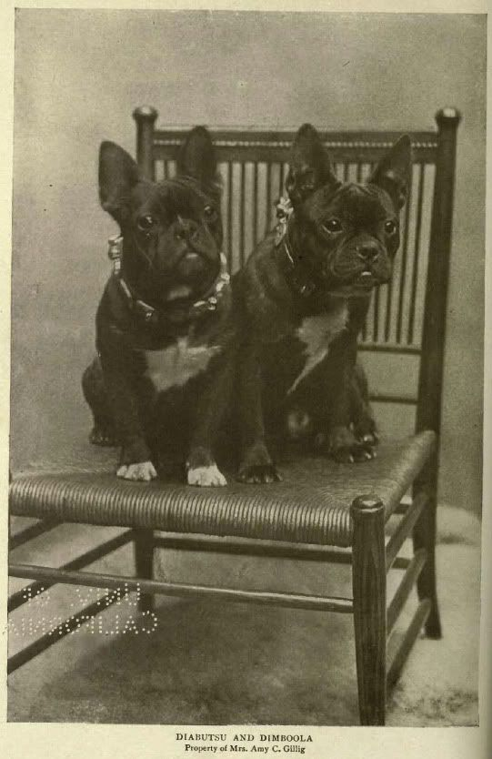 French Bulldogs, 1905 'Diabutsu' and 'Dimboola', vintage black and white photo.