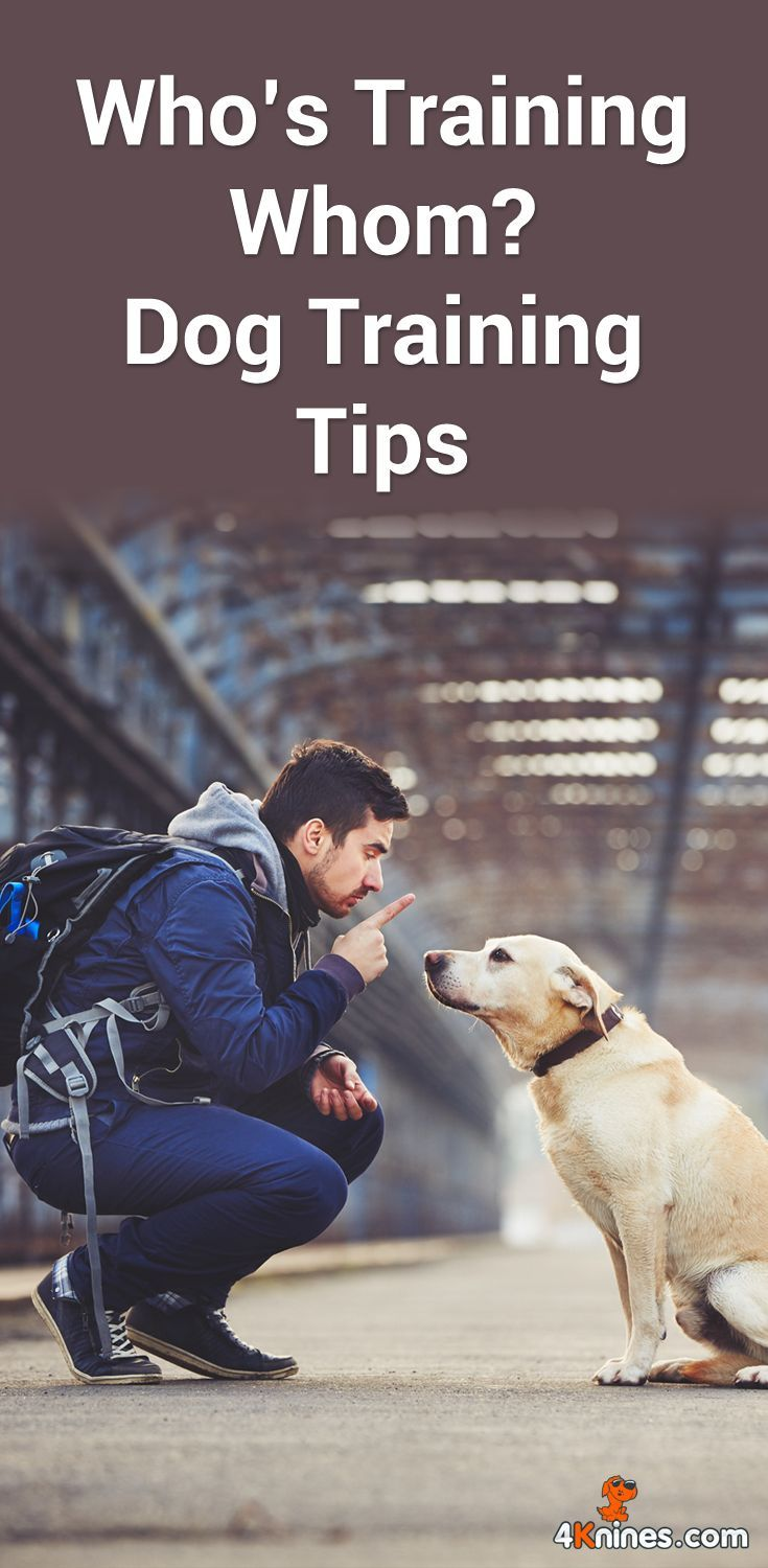 In this article: http://blog.4knines.com/dogtraining, Daphne Robert-Hamilton of K9 Partnership shares tips how you can train your dog, and not the other way around. @KaufmannsPuppy