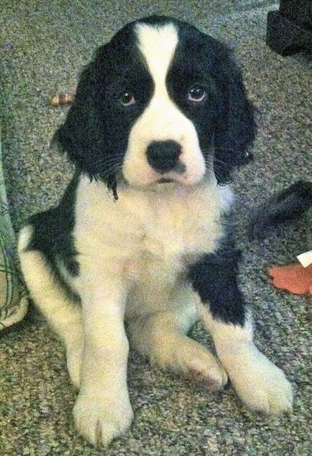 Lucy the Springer Spaniel-SOOO Cute!!!