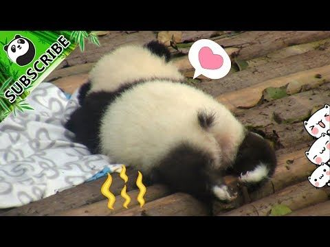 Have You Heard Of A Tale Of A Panda Tail? | iPanda - YouTube