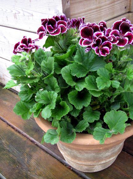 Martha Washington geraniums