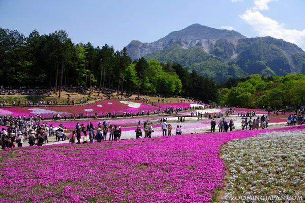Beautiful shibazakura fields at Hitsujiyama Park in Chichibu (Saitama Prefecture) = nice day trip from Tokyo.