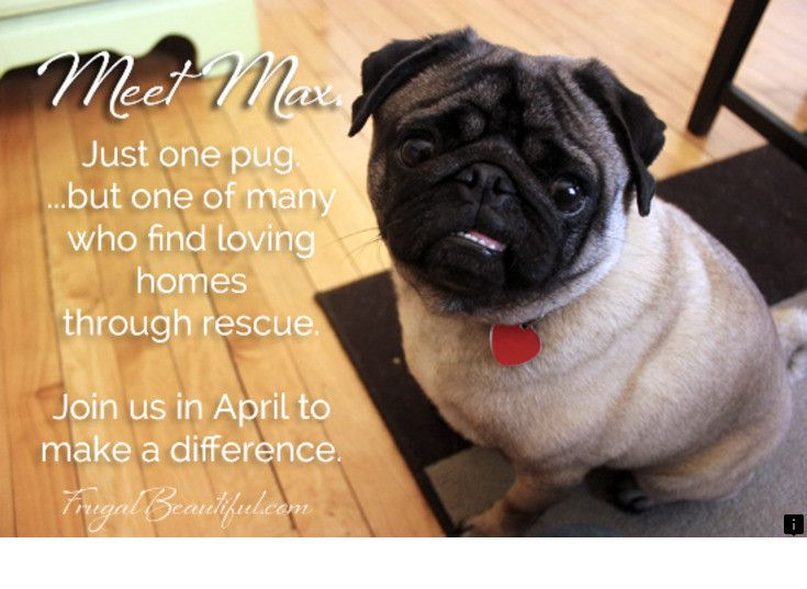 Discover More About Pug Rescue Near Me Please Click Here For More