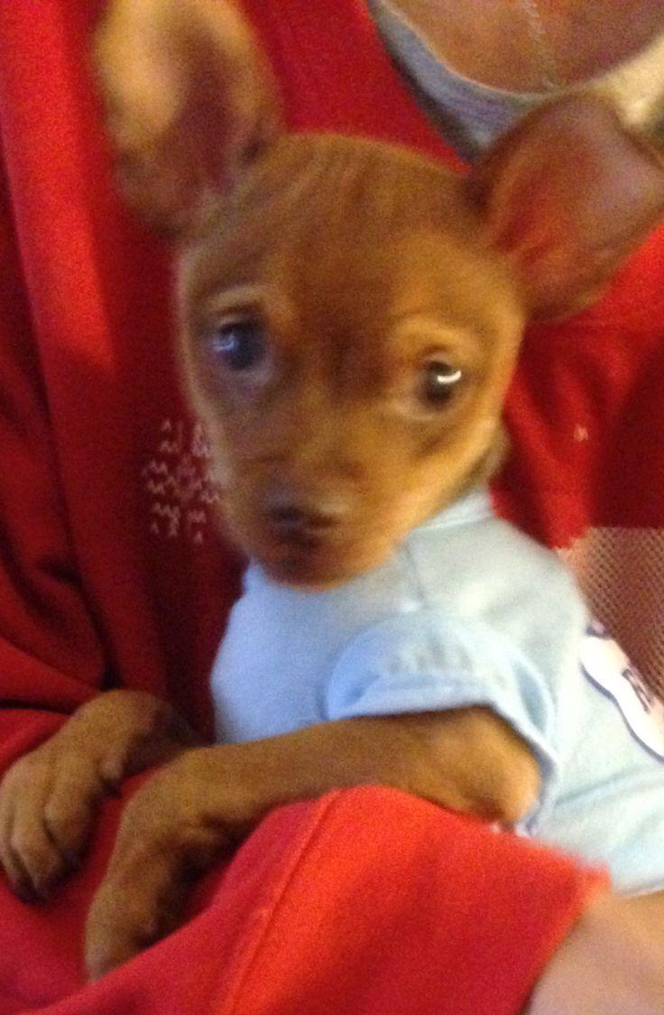 Chipin dog for Adoption in Colton, CA. ADN-614126 on PuppyFinder.com Gender: Male. Age: Baby