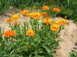 Calêndula ou Malmequer (Calendula officinalis) - Ficam bem em saladas e chás. Malmequer - Retire os talos e lave as flores numa taça com água, de forma a manter o seu aroma e cor. Depois de secarem, acrescente-as a um cozinhado. Este não deverá ser demasiado complexo, pois eliminará o delicado aroma da flor. Além de darem um aspecto sofisticado a uma salada, as flores comestíveis podem ter a mesma utilização culinária que as ervas aromáticas. Ou seja, pequenas quantidades de cada vez.
