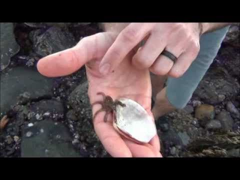 Super tiny baby octopus climbs around on a guy's hands
