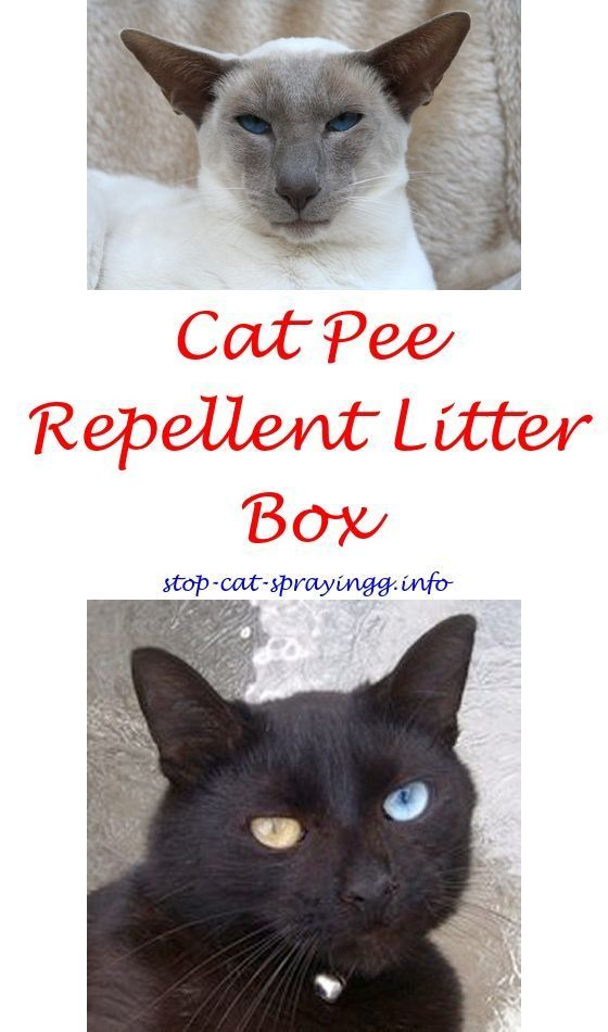 Unspayed cat peeing in house
