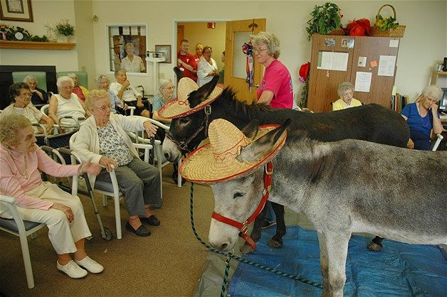 Residents at Elmcroft senior home in Bloomsburg greet Honeybun and Henry, their therapy donkeys.