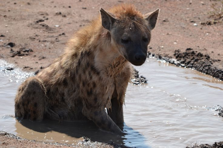 We came across a Hyena just chilling in a muddy puddle in the middle of the road! Only in Africa x