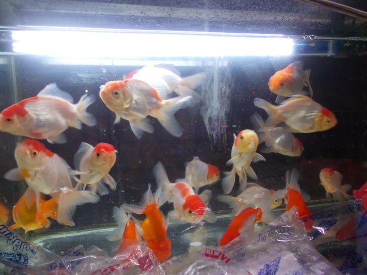Info Ikan: 10 Ikan Hias Air Tawar yang Terkenal