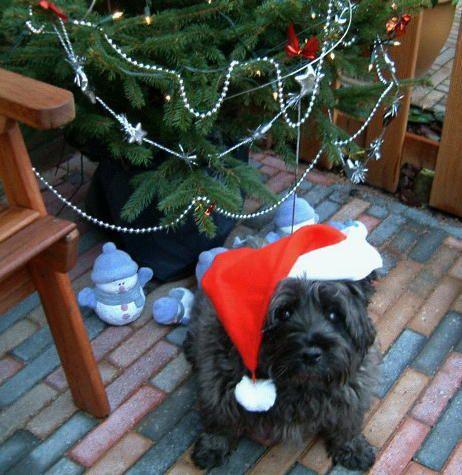 kerst hond  - Christmas dog