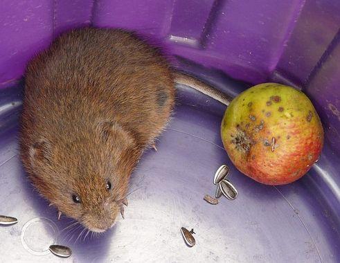 Elegant Le campagnol ou rat taupier le connaitre ses d g ts s uen d barrasser